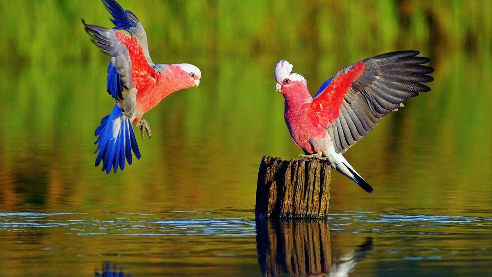 Parrots by DjDiaas