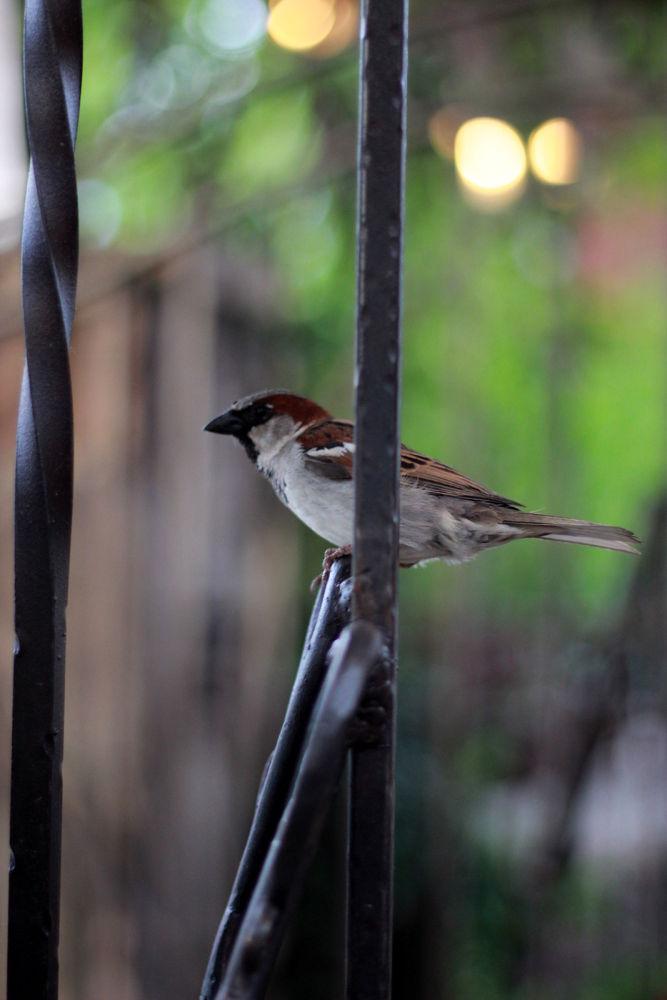 Sparrow by Deborah Divis