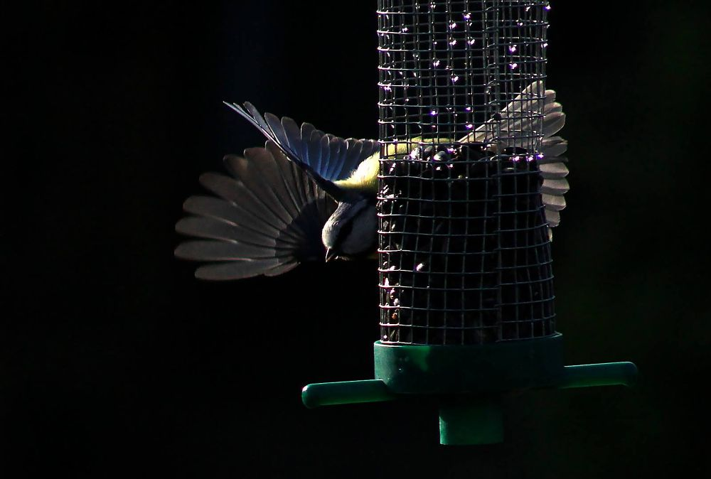 Blue tit on feeder by Turnip Towers