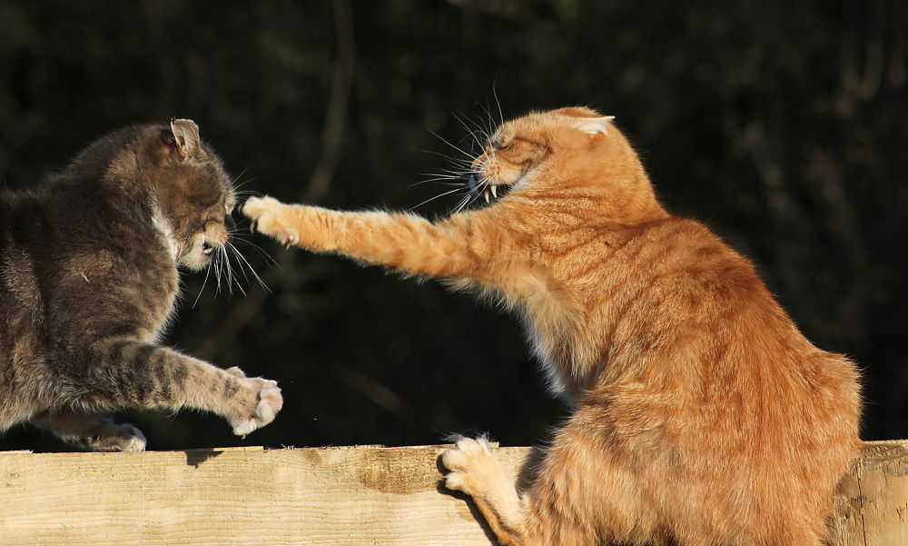 Cat fight by Turnip Towers