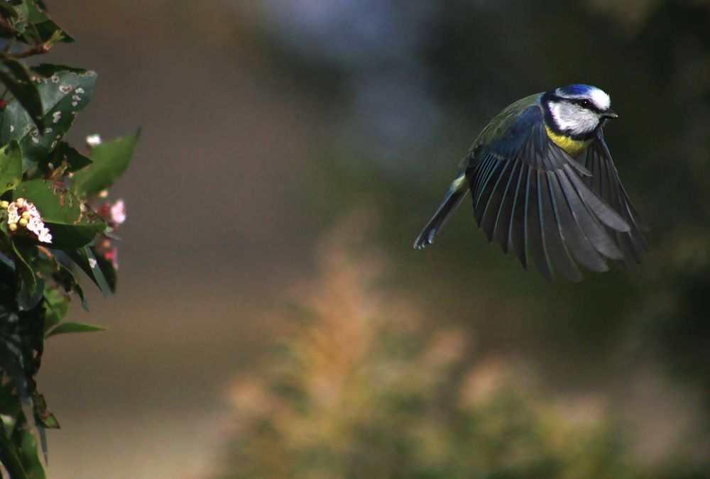 Blue tit by Turnip Towers