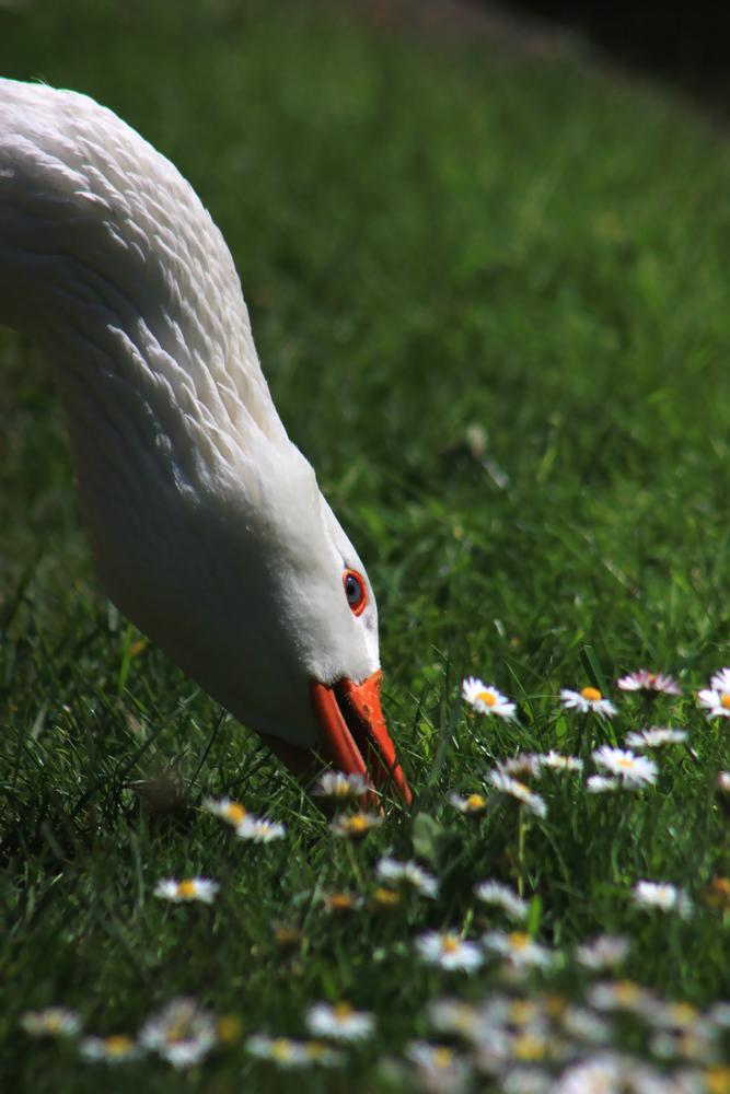 Feeding goose by Turnip Towers