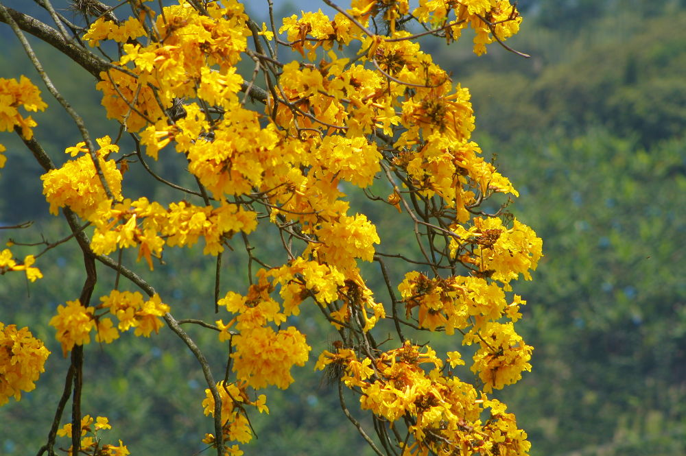 yellow flowers. by Carlos Giovanni Rodriguez Chiluiza