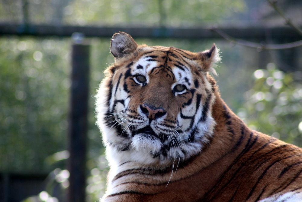 bengal tiger by jackal-headed-god