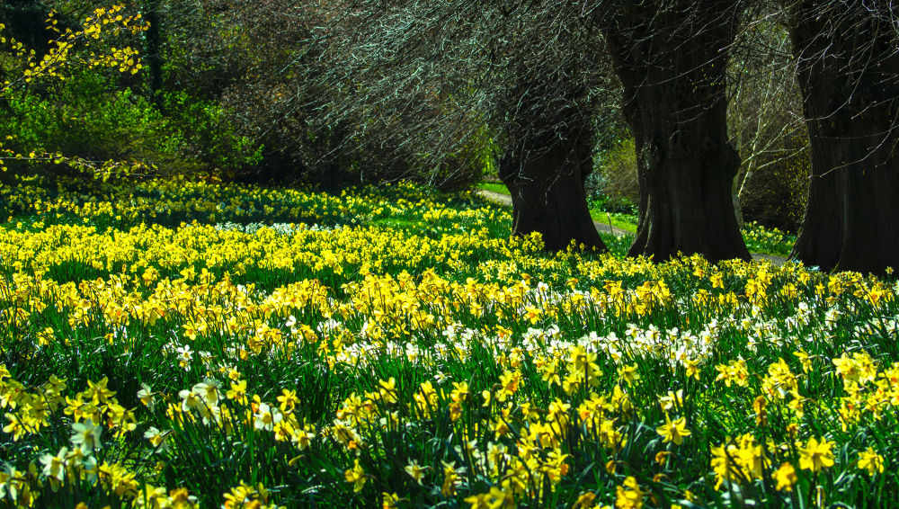 Daffodils  by Chris Taylor