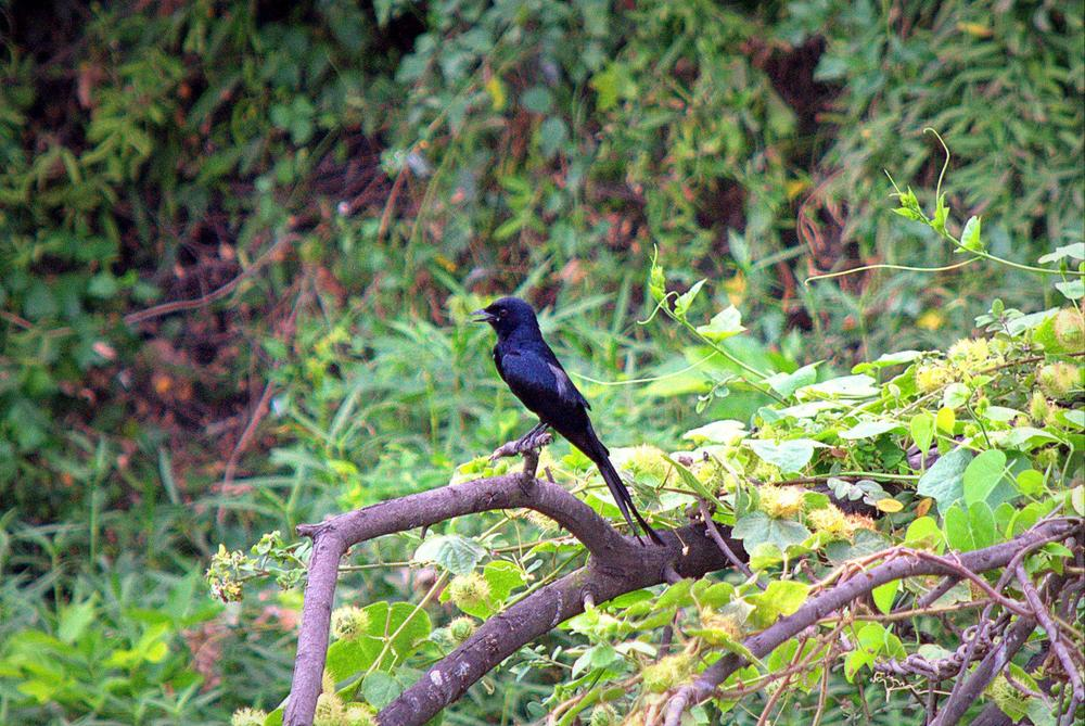 Black sparrow by Saravana Kumar