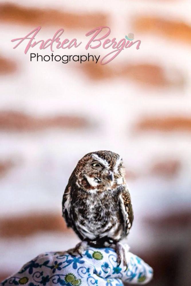 Elf Owl by Andrea Bergin