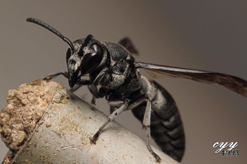 Wasp [Vespidae] 胡蜂 by cyy4993
