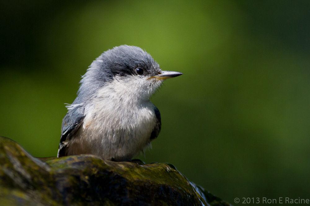 Juvenile Pygmy Nuthatch by RonERacine