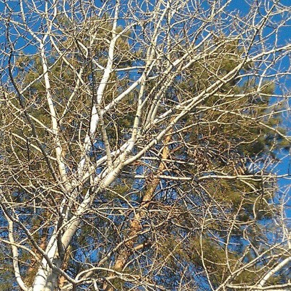 Birch by terrihorkan