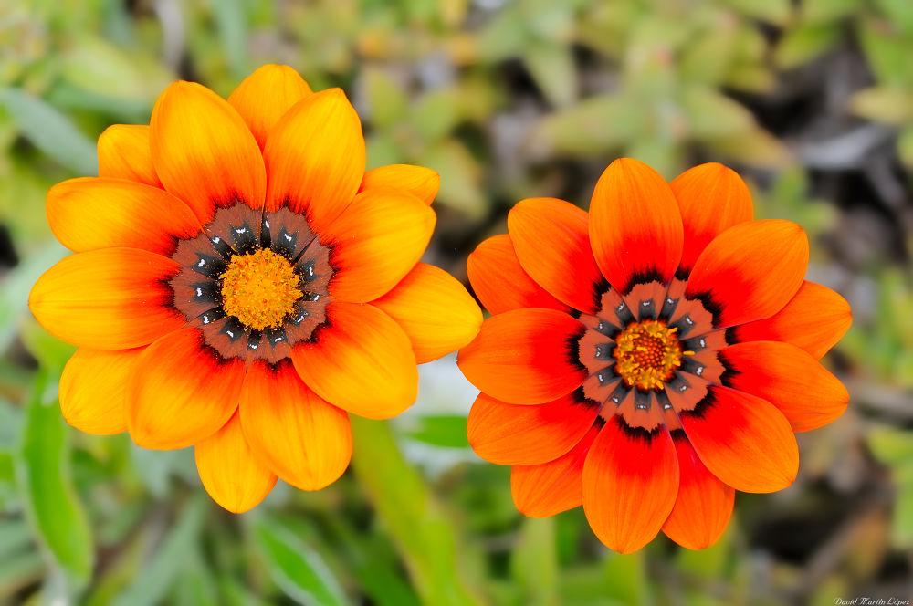 Pair of daisies by davidmartinlopez