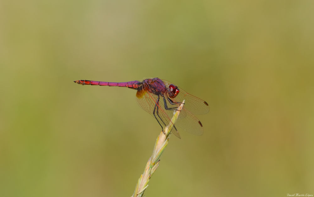 Red dragonfly by davidmartinlopez