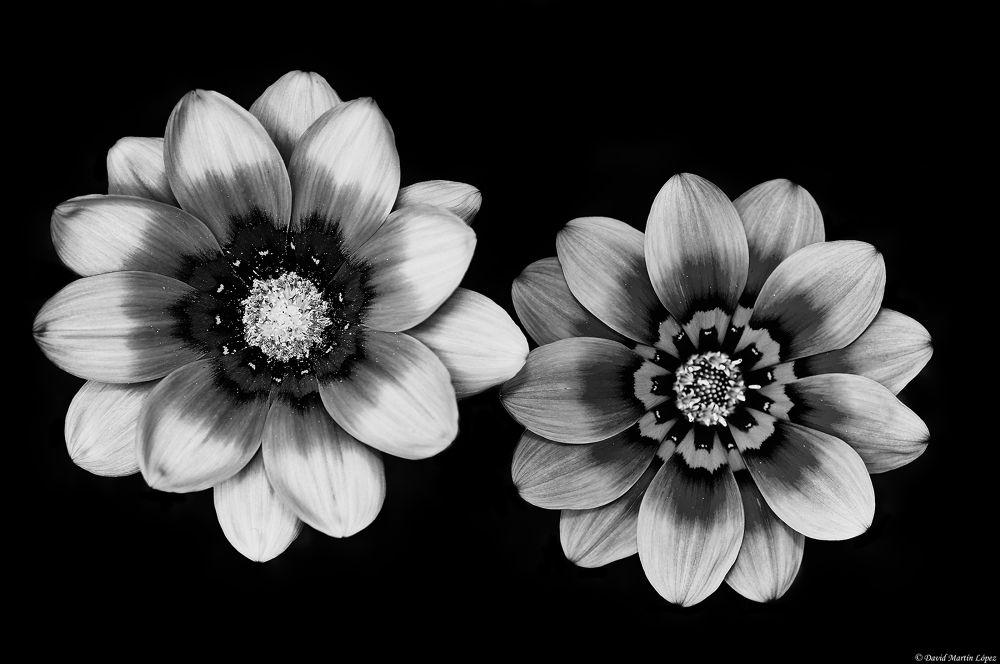 Daisies by davidmartinlopez