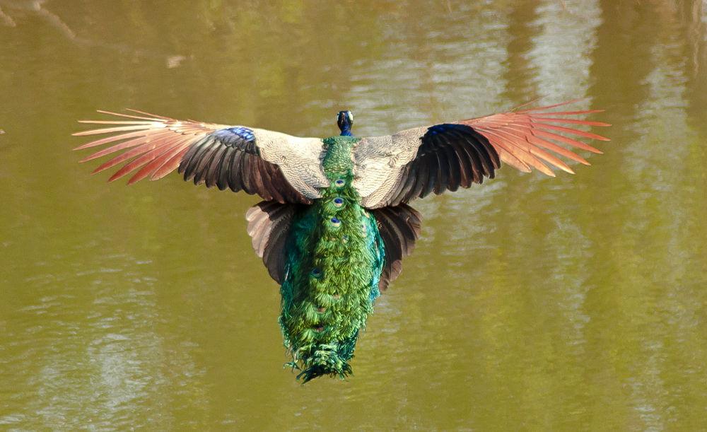Indian National Bird in Flight.. by Suhas Premkumar
