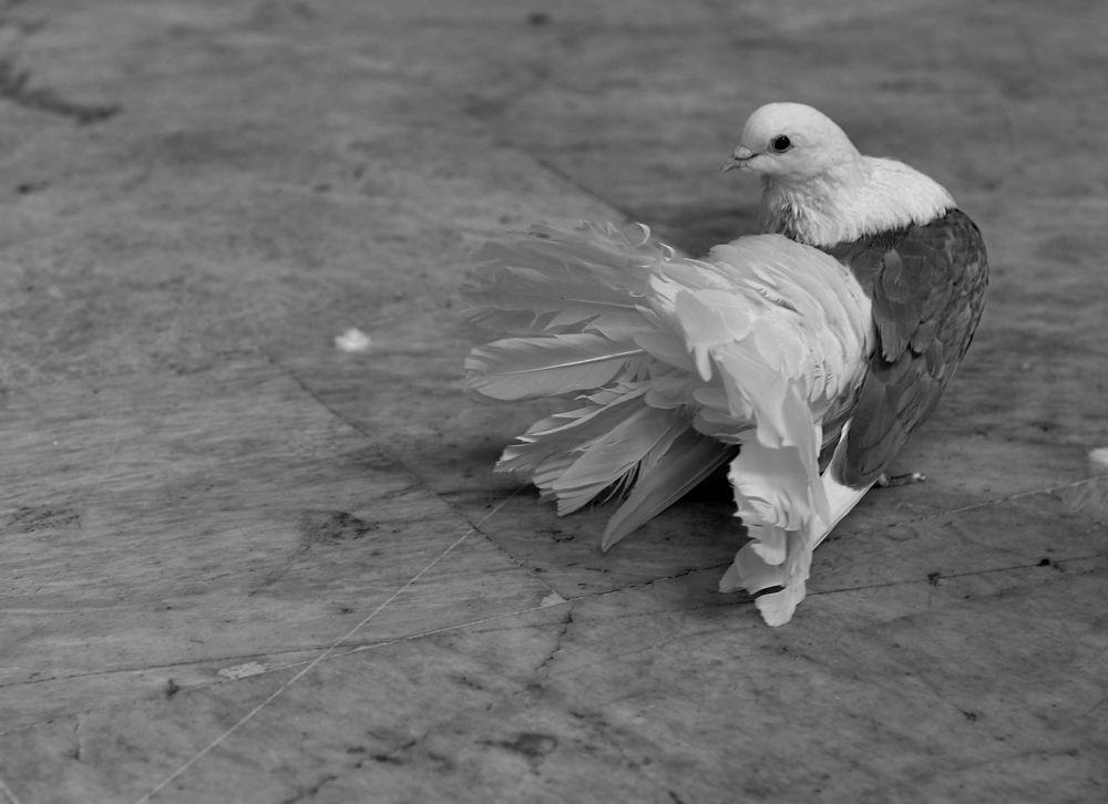 pigeon by fatmagokmen64