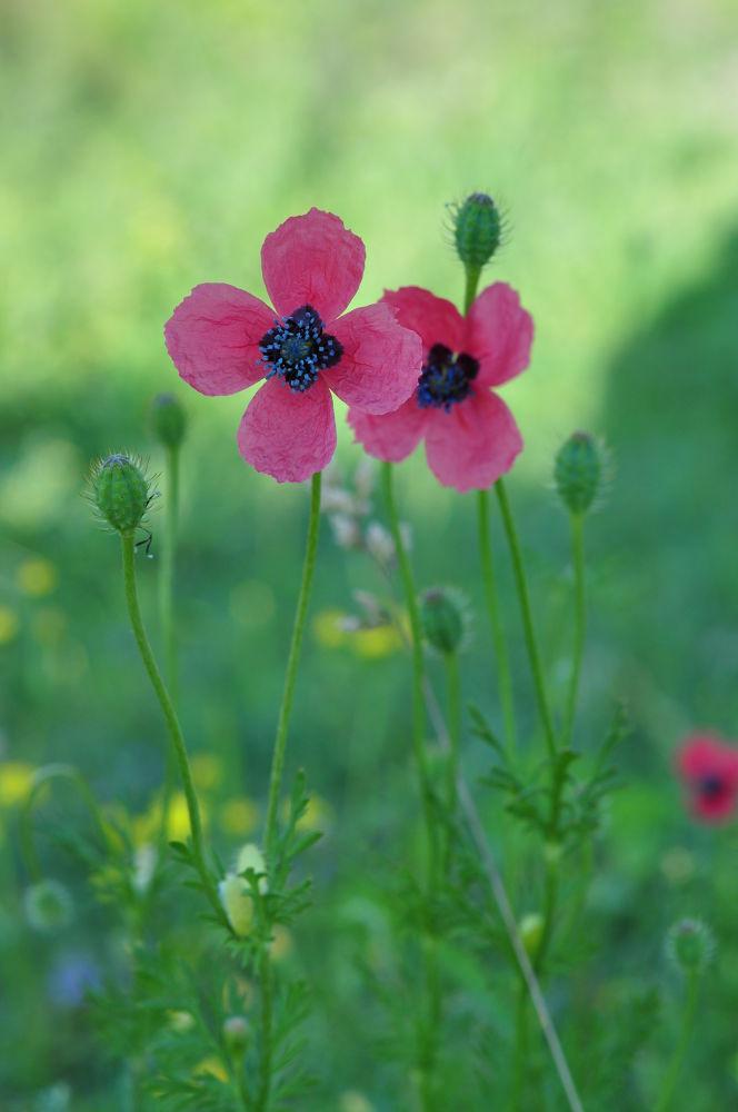 pink flowers by fatmagokmen64