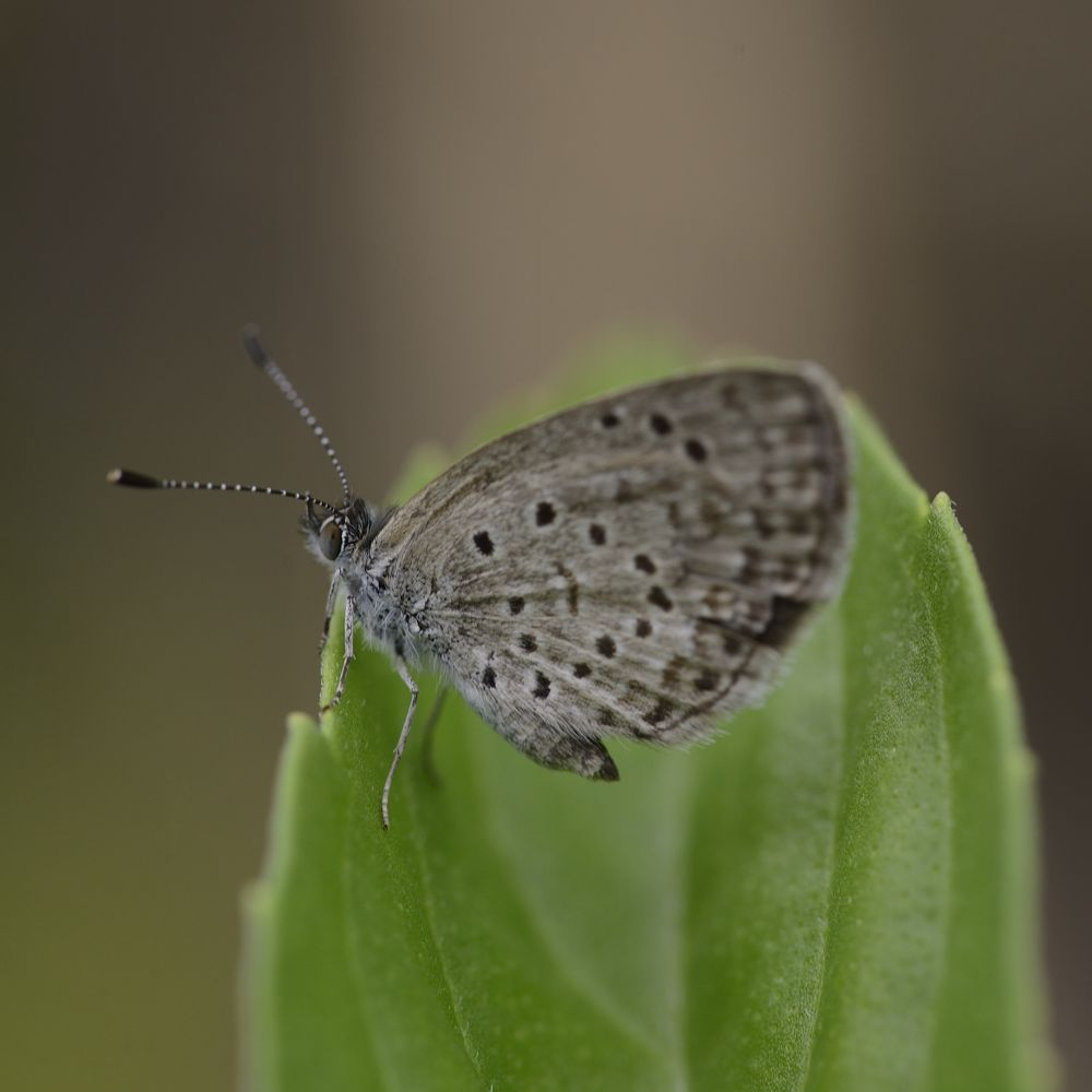 African Grass Blue by Philippe Cuvelier