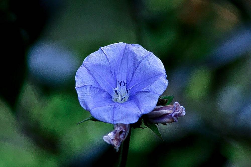 Flor azul by Marcant