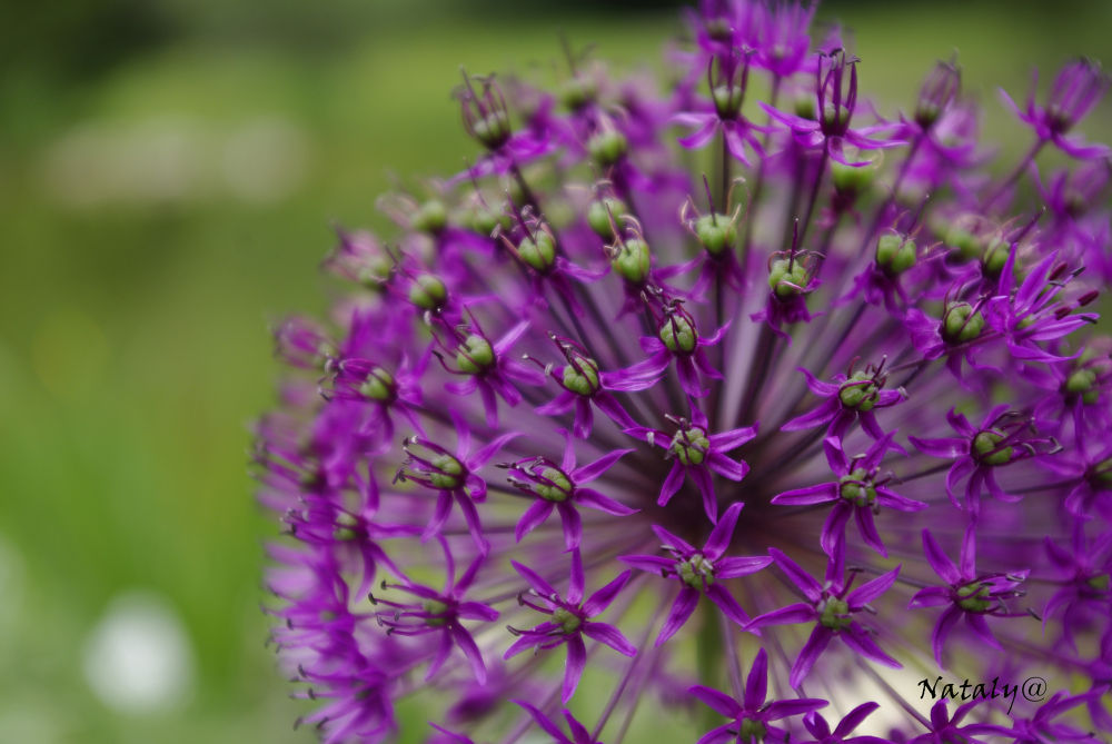 purple star... by Nataly Foto