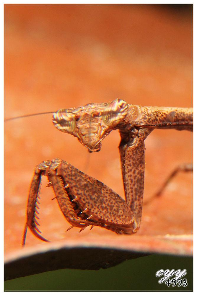 Mantis [Mantidae] 螳螂 by cyy4993
