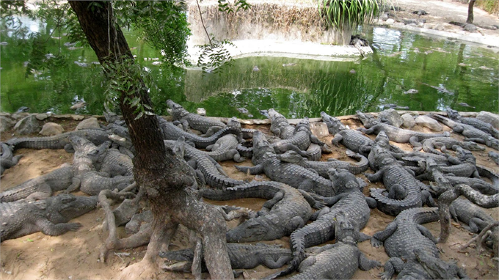 Madras Crocodile sanctuary  by chennaihotels