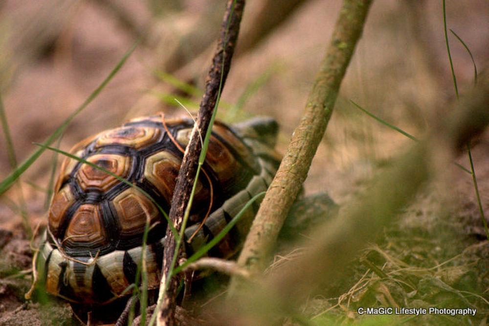 Photo in Random #reptile #cape town #nature reserve #tortoise #angulate tortoise