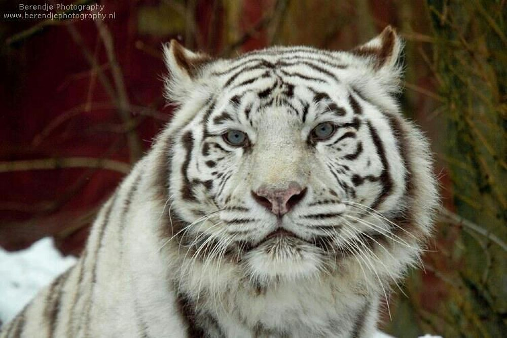 White tiger by Brenda Passchier