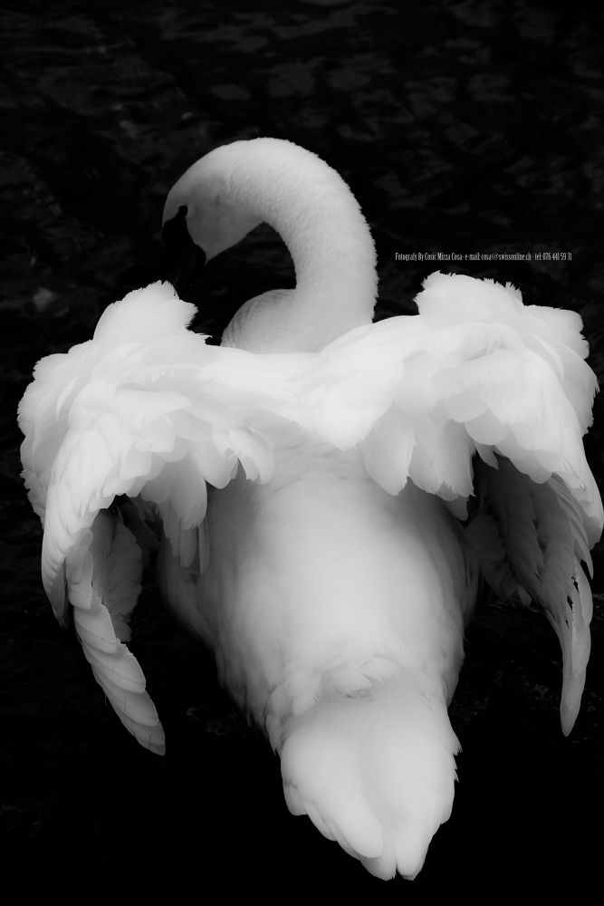 Black Swan by bycosaphotography