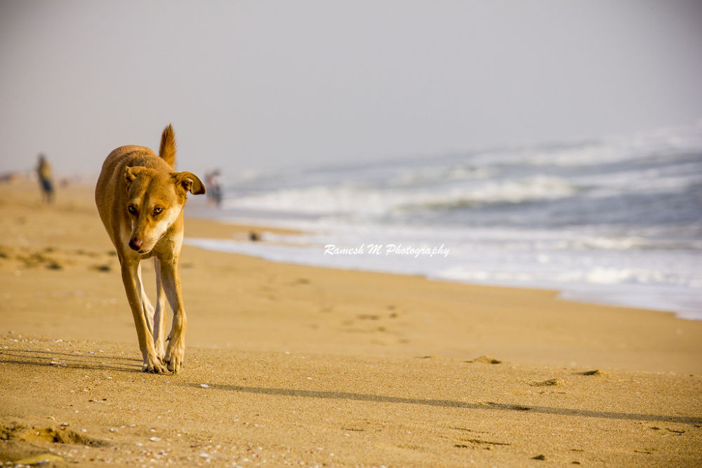 Dog walking by Ramesh Muthaiyan