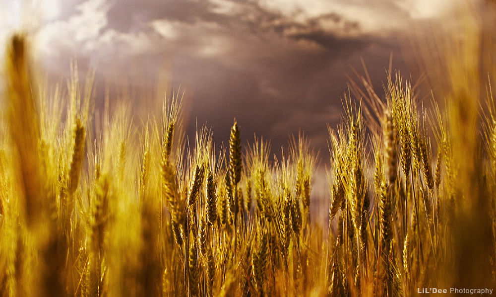 Photo in Landscape #clouds #scary #landscape #storm #field #gold #corn #dramatic