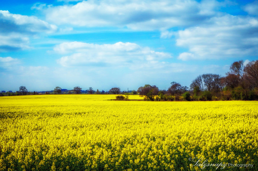 Rapeseed Fields by Salzsnapz Photography