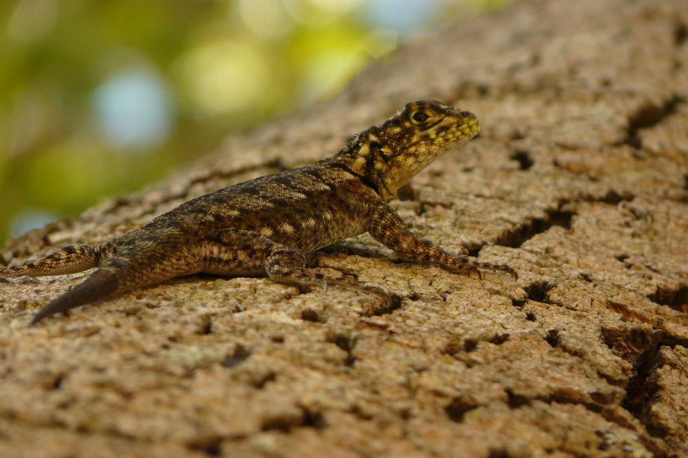Tropidurus xanthochilus - Teju Tara by ParaguaySafari