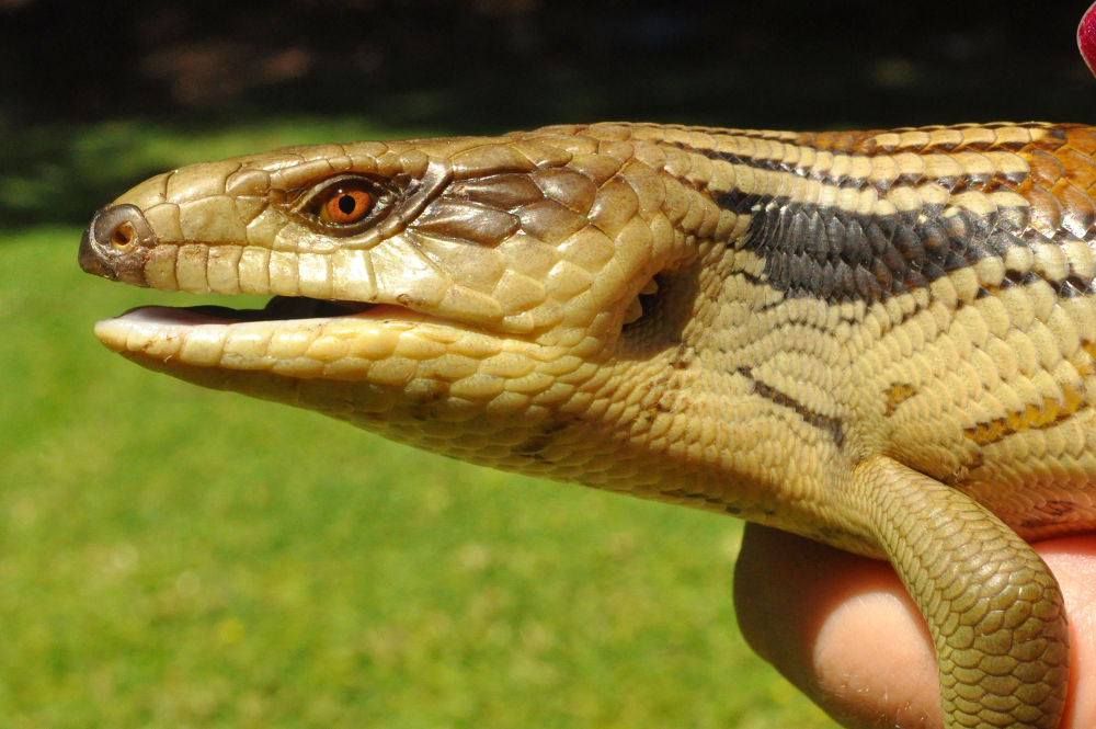 Blue Tongue Lizard by Wendy Hill