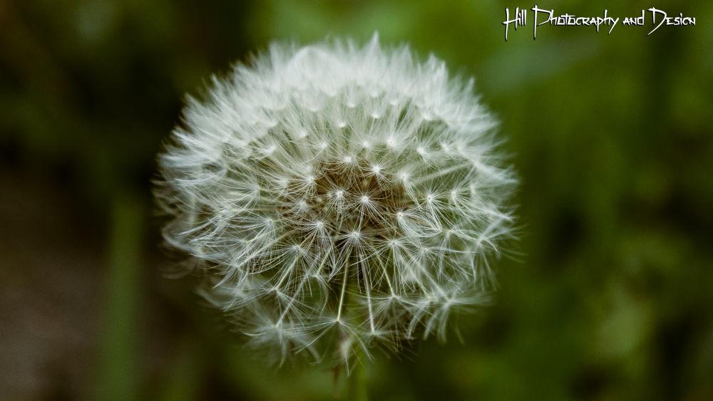 Dandelion by Simon Hill