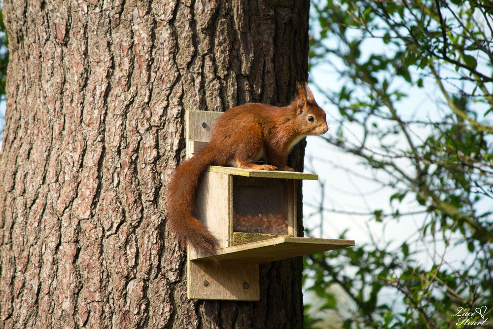 Red Squirrel by ckfosse