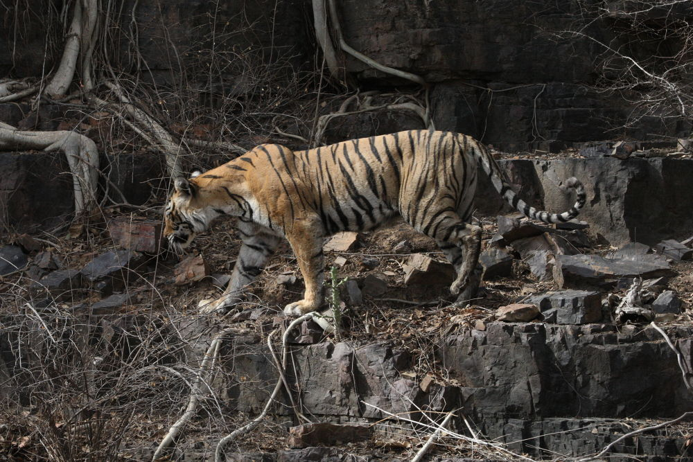 T16 or Machili, the matriarch tigress of Ranathambore, India by S S Kumar