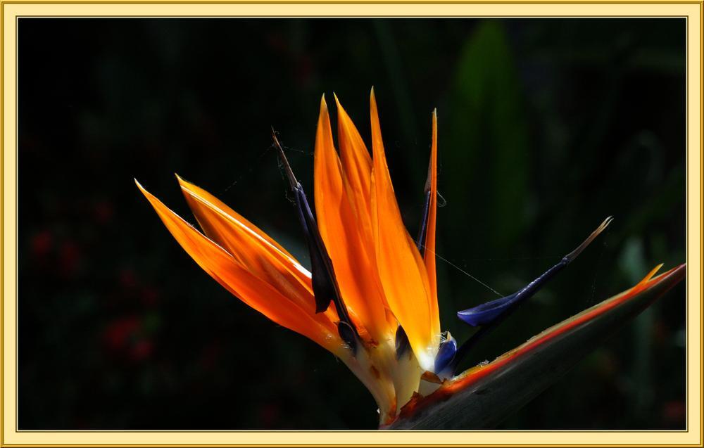 oiseau de paradis by Sergrick Asphalette