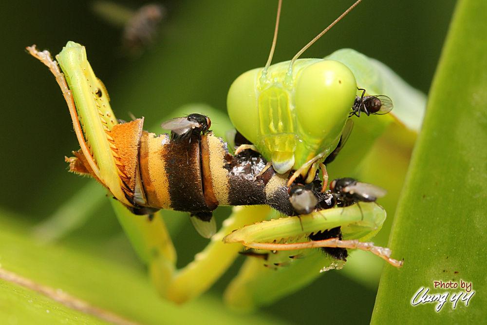 Photo in Macro #prey #mantis #螳螂 #mantidae #canon eos 550d #canon ef 100mm f2.8l is usm #cyy4993