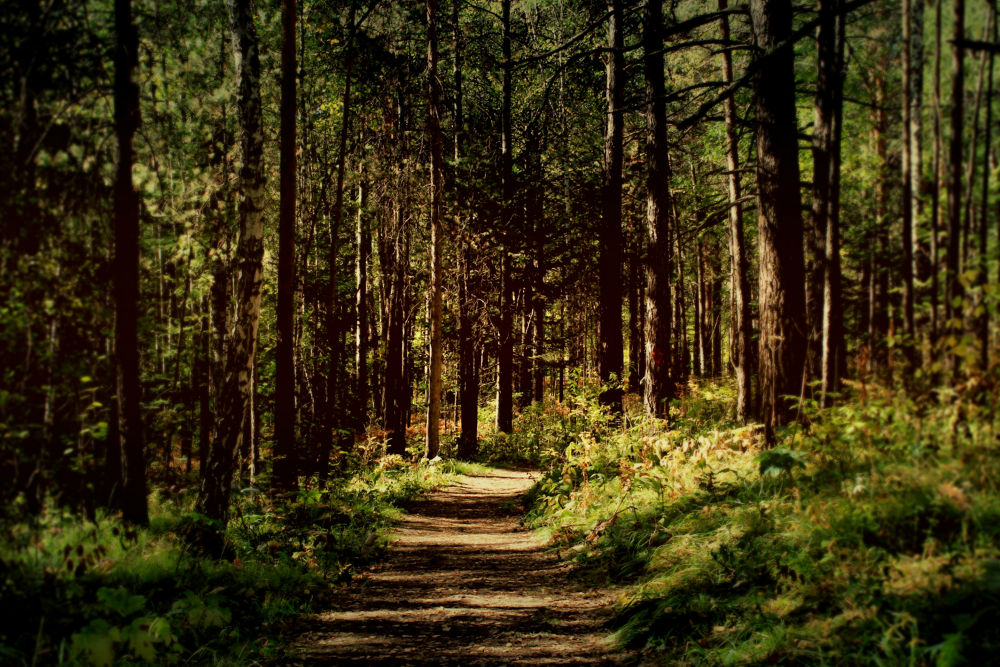 The forest by Roslyn