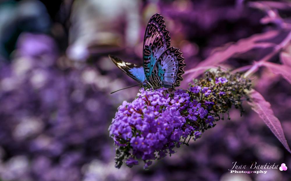 Purple by Juan Bautista
