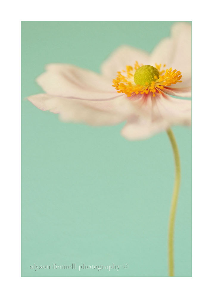 Japanese Anemone  by AlysonFennell