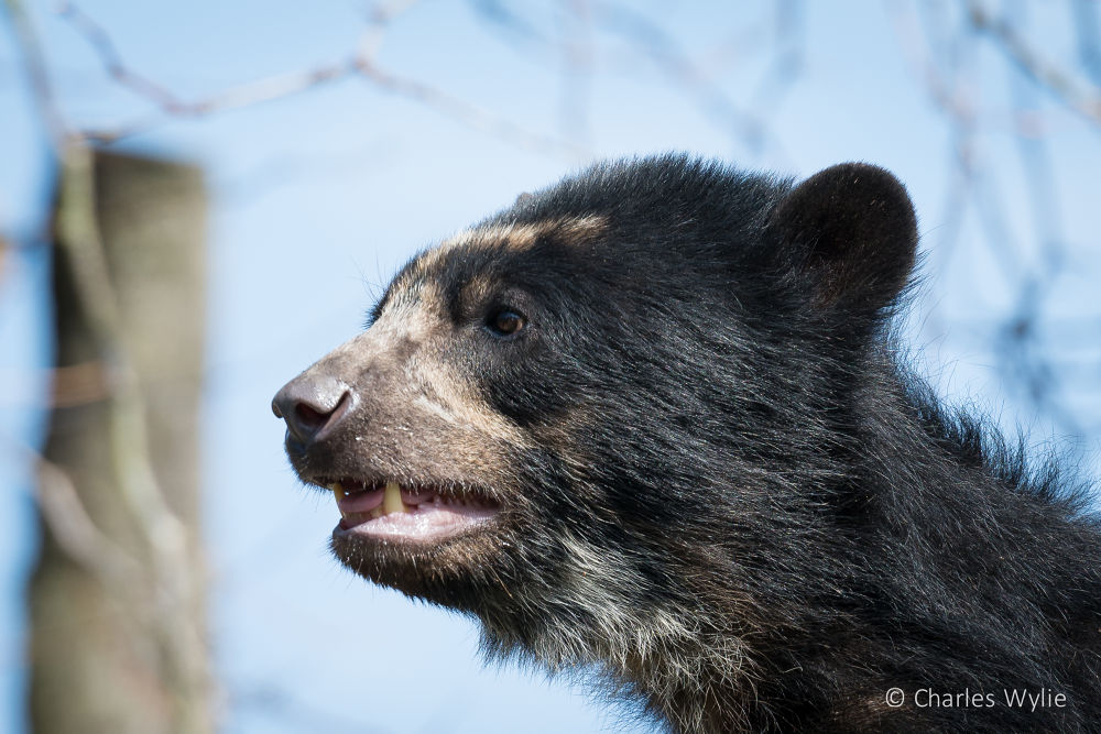 Bahia - Andean Bear @ Durrell Wildlife Conservation Trust by Charlie Wylie