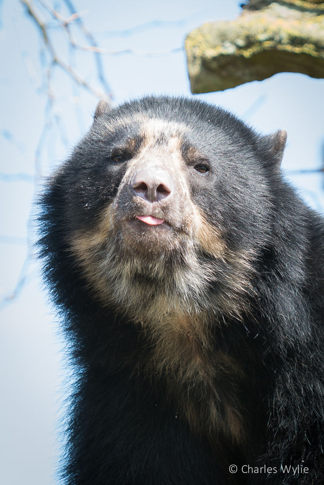 Quechua - Andean Bear @ Durrell Wildlife Conservation Trust by Charlie Wylie