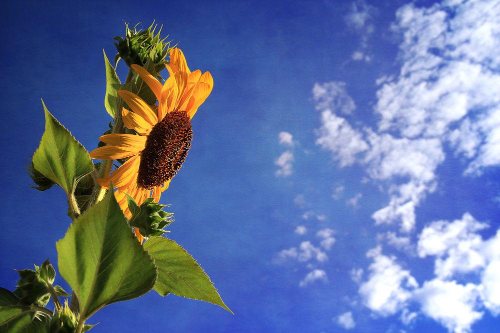 sunflower 045a by Linda Ruiz