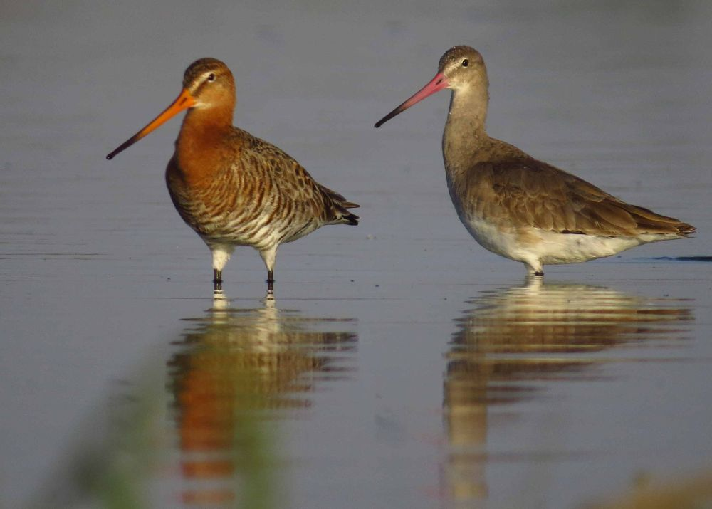 A Pair of Black tailed Godwit by Kishan Meena