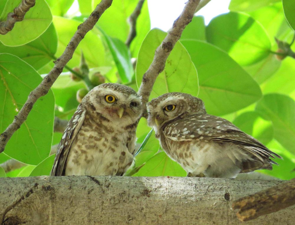 Spotted Owlet by Kishan Meena