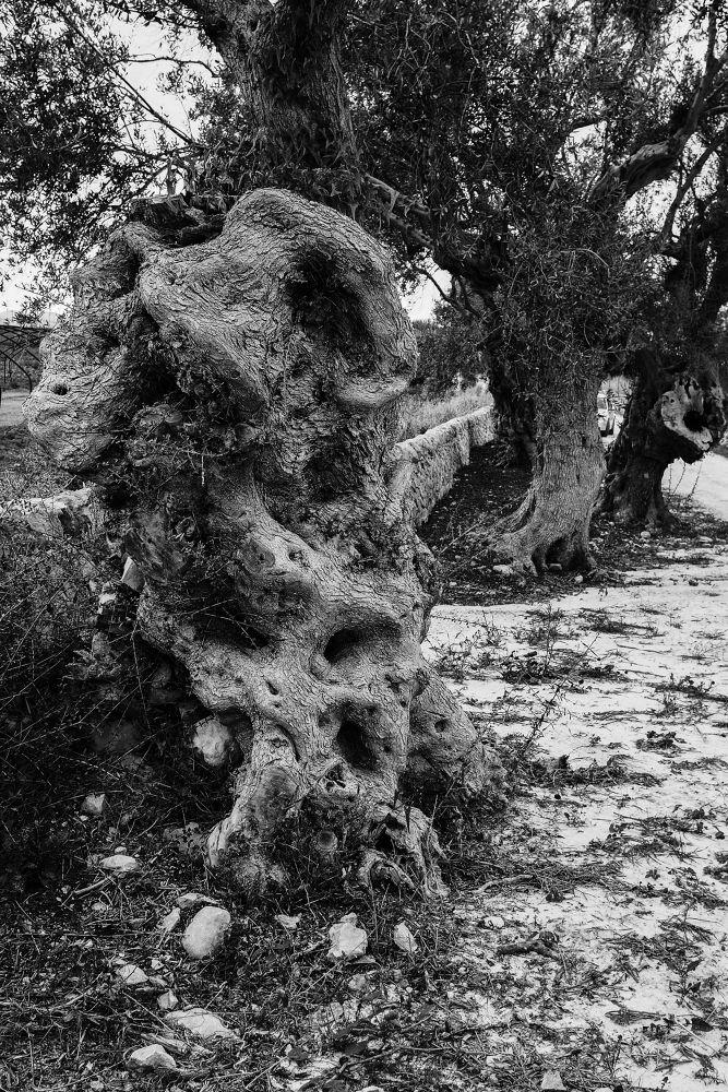Ulivo Secolare (periodo moresco in Sicilia) by Fotoabbate