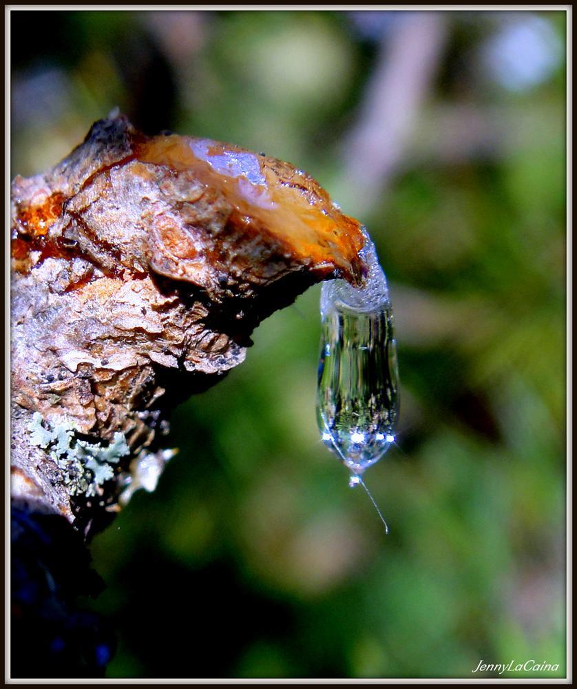 Larme de pin... Goutte de résine - Tear...Drop of resin by JennyLaCaina