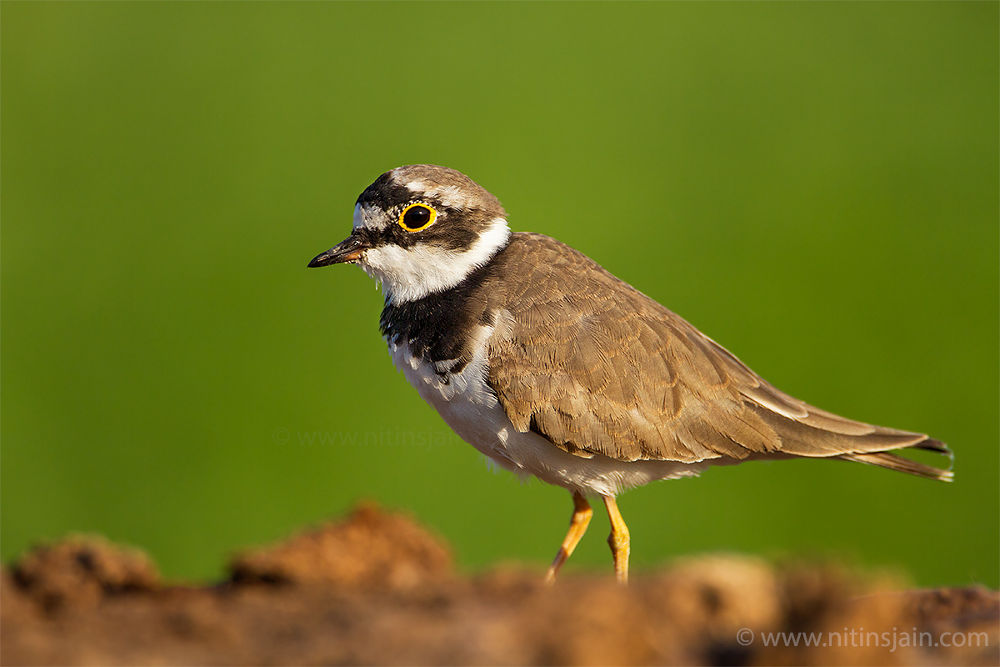 Little ringed plover by nitin76