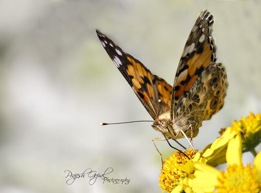 Butterfly 1 by Prajeshvenugopal